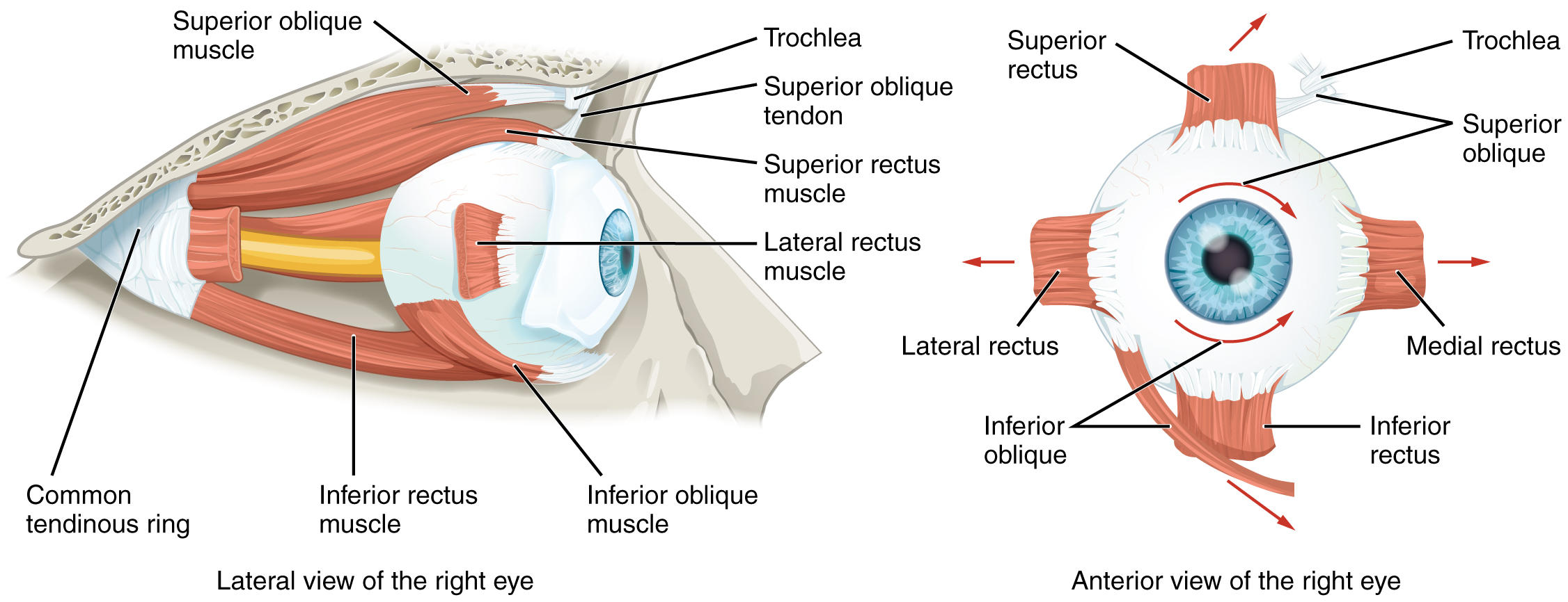 1412_Extraocular_Muscles