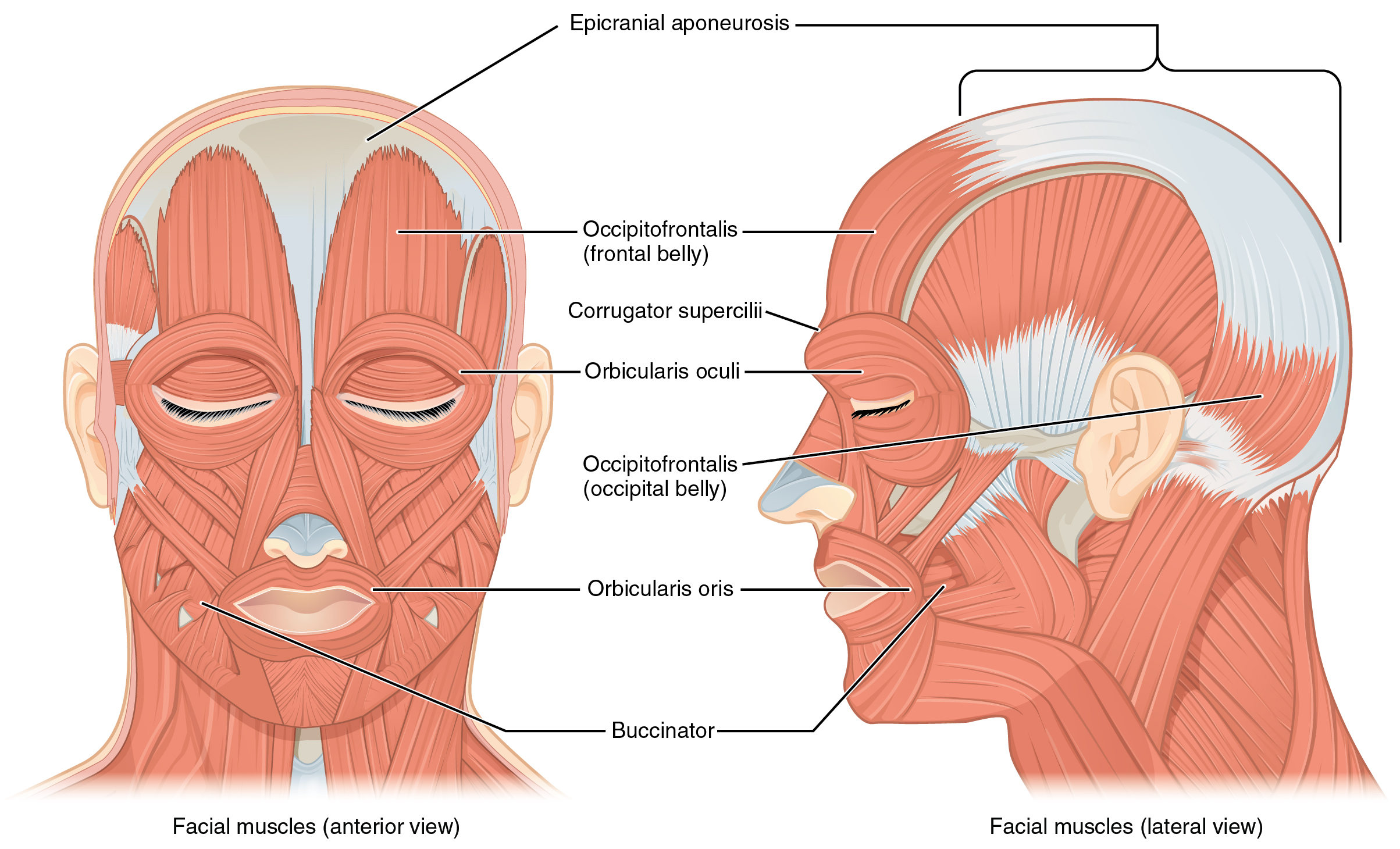 muscles of facial expression2 - FRCEM Success