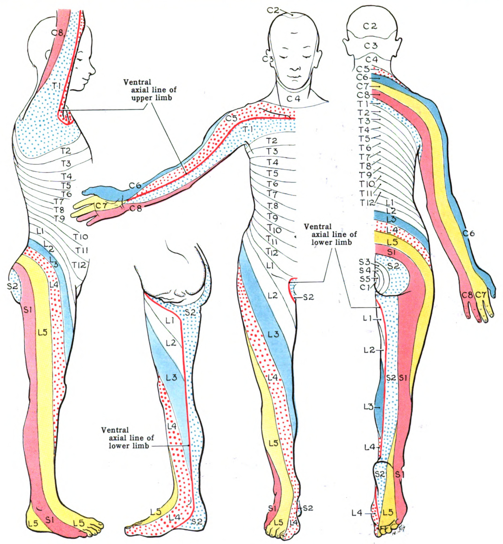 dermatome-body-map - FRCEM Success