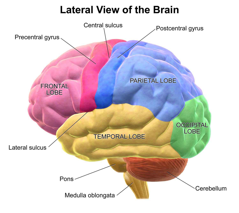 Cerebral Hemispheres Frcem Success