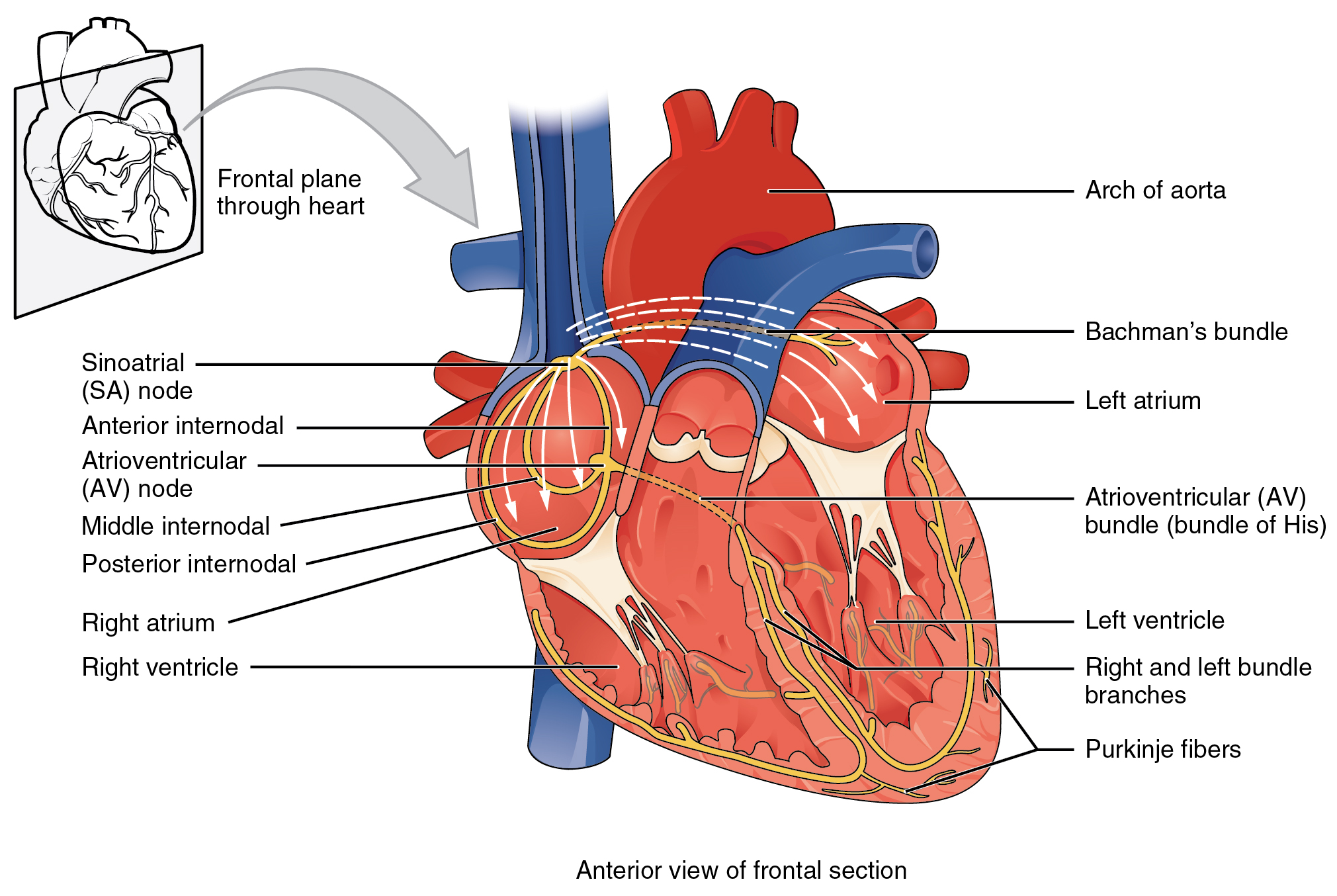 Conduction system of heart - FRCEM Success