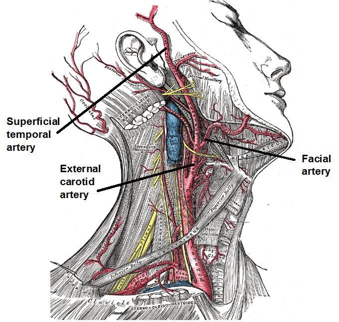 Facial Artery - FRCEM Success