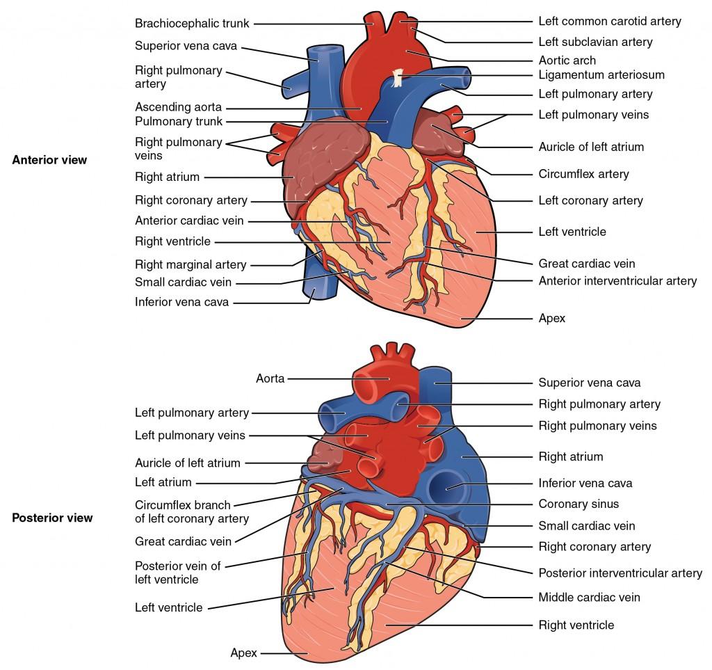 Surface Anatomy Heart Frcem Success