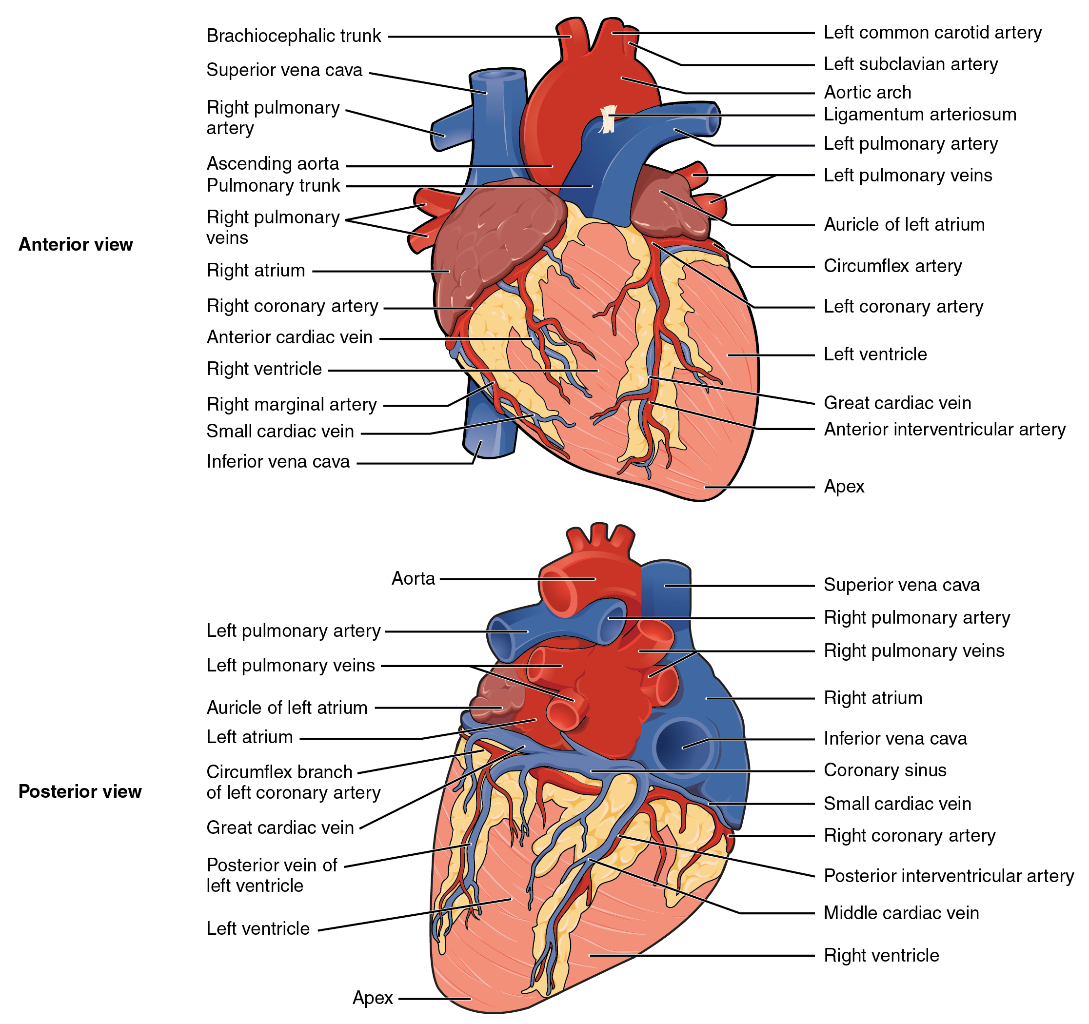 Surface Anatomy Heart Frcem Success