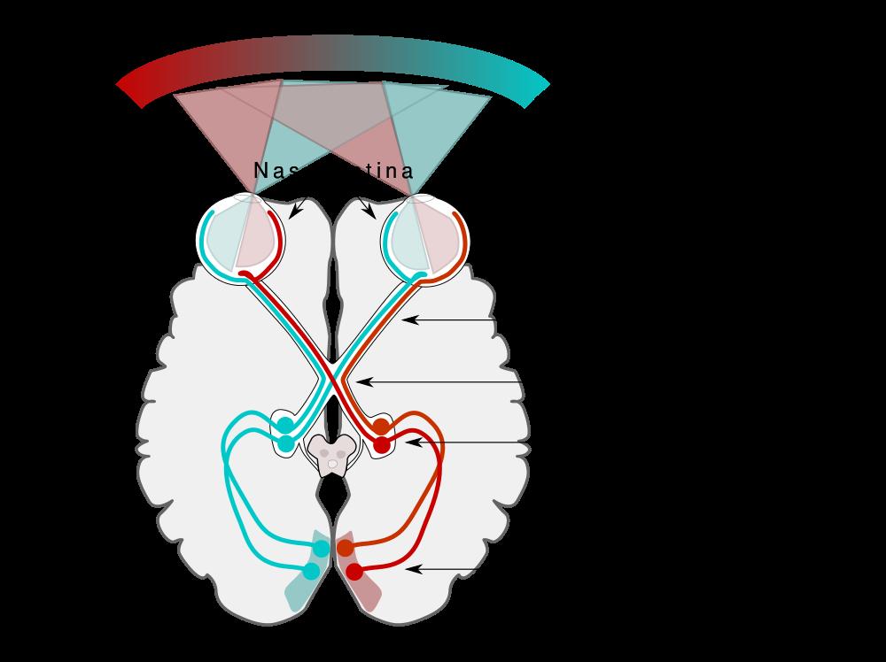 visual-pathway - FRCEM Success