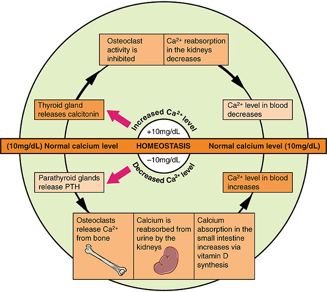 625_Calcium_Homeostasis - FRCEM Success